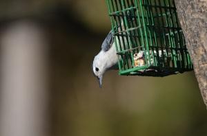 wbnu at feeder smaller